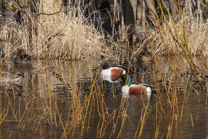 A pair of northern shovelers making the best of the cool weather.