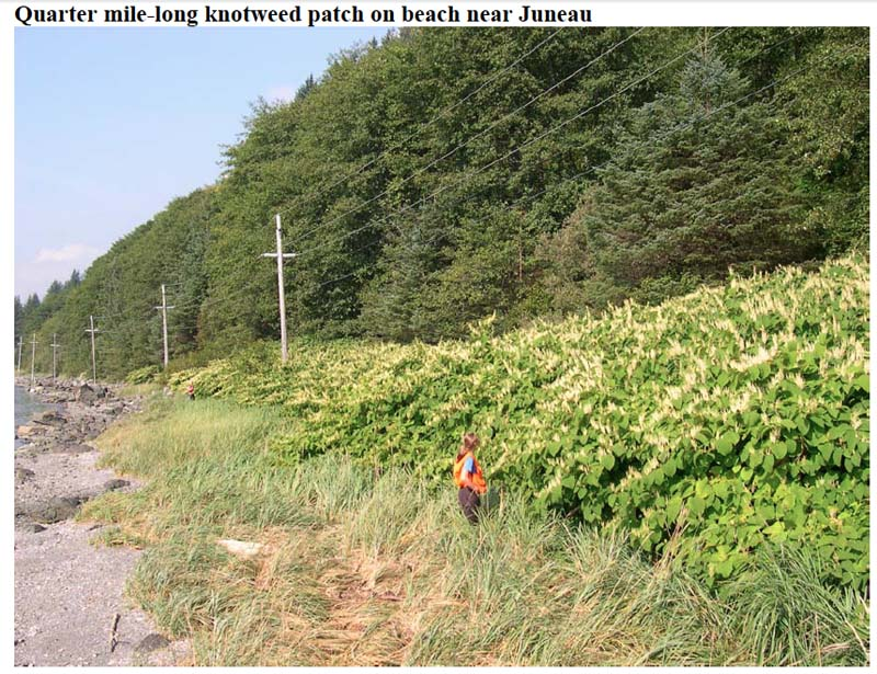 Knotweed that has taken over a salmonberry patch near Juneau
