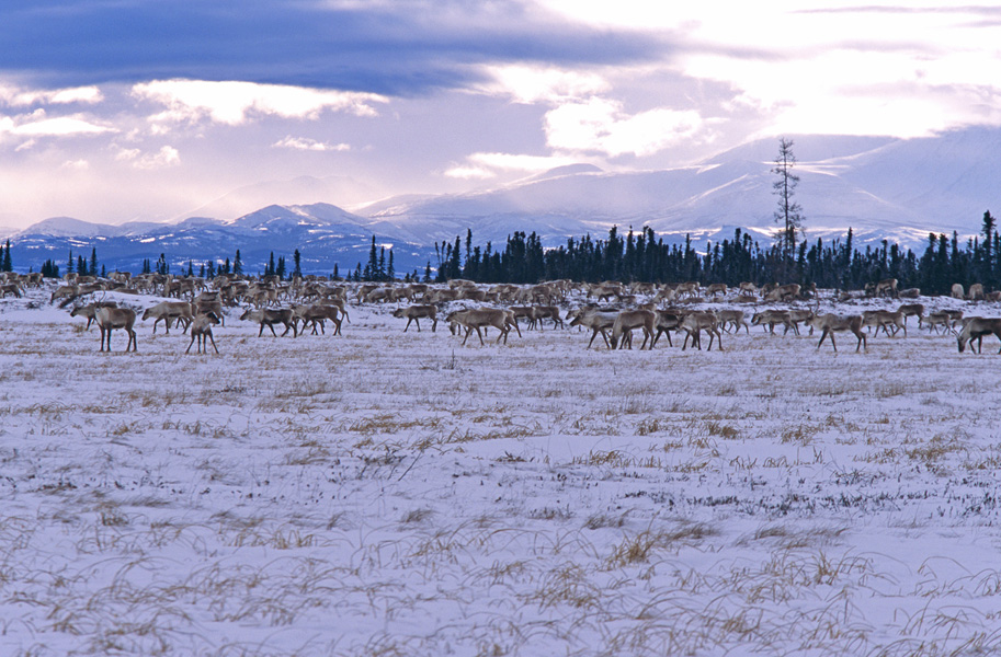 Band of caribou near Whitefish Lake around 2004