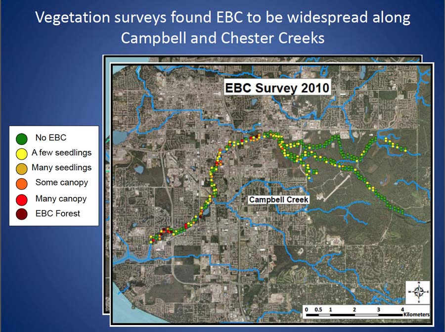 Map showing the extend of European bird cherry infestations along Campbell and Chester creeks.