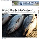 What's Causing The Decline Of The Yukon (and Kuskokwim) King Salmon - High Country News Article